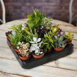Planta suculenta mini
