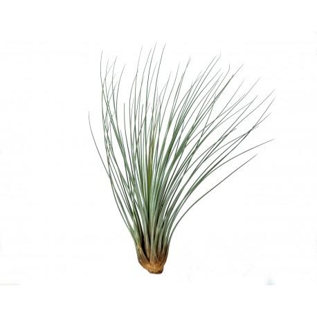 Planta aeriana Tillandsia Juncea
