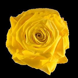 Trandafir galben criogenat