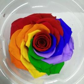 Trandafir Rainbow criogenat