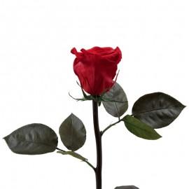 Trandafir rosu complet criogenat