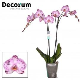 Orhidee XL Phalaenopsis Kasshi
