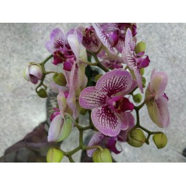 Orhidee Phalaenopsis Stripes XL