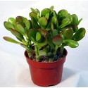 Planta suculenta Crassula Sunset