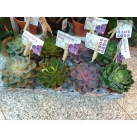 Plante suculente Echeveria special mix