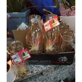 Planta aerofita Tillandsia in vas de sticla
