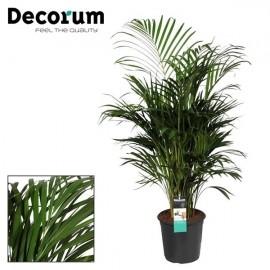 Palmier Areca premium 120 cm