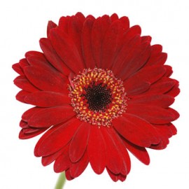 Gerbera mini fir