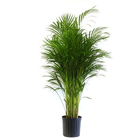 Palmier Areca premium 170+ cm