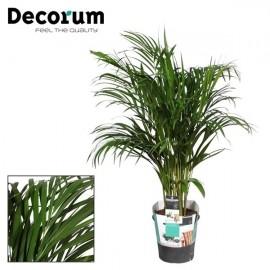 Palmier Areca premium 100 cm