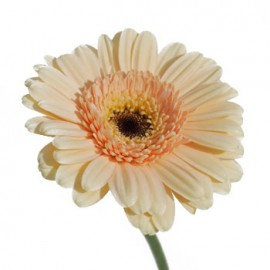 Gerbera mini crem
