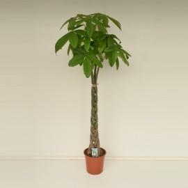 Pachira Aquatica- Arborele banilor