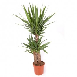Yucca 70 cm