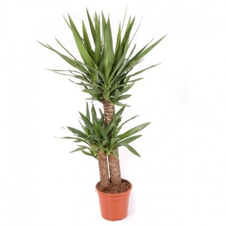 Yucca 80 cm
