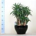 Dracaena Warneckei Compacta bonsai