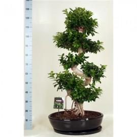 Bonsai Ficus Microcarpa 130cm