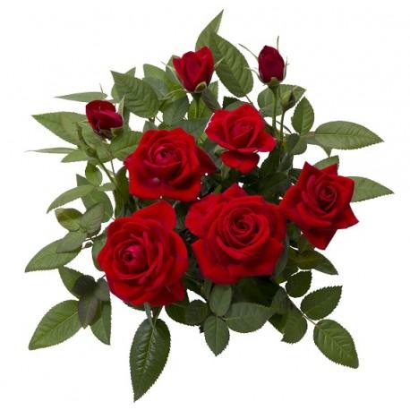 Rosa- mini trandafiri