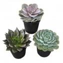 Plante suculente Echeveria mini