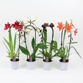 Orhidee Cambria arcada