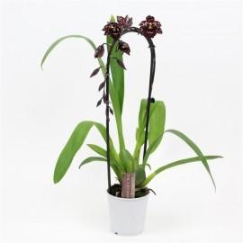 Orhidee Odontioda Margaret Black Holm