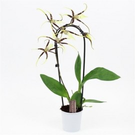 Orhidee Brassia Toscane