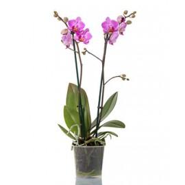 Orhidee Phalaenopsis Manchester 2 tije