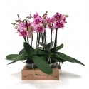 Orhidee Phalaenopsis Rembrandt 2 tije
