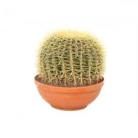 Echinocactus XXL
