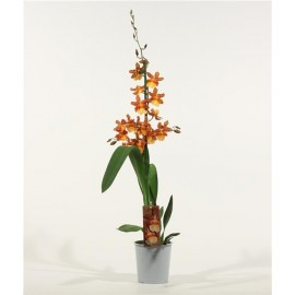 Orhidee Odontocidium Catante