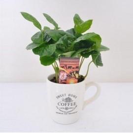 Coffea Arabica - Arborele de Cafea in ceasca deco