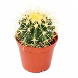 Echinocactus grusonii mini