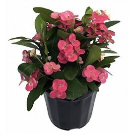 Euphorbia Milii - Coroana lui IIsus