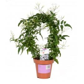 Iasomie - Jasminum polyanthum