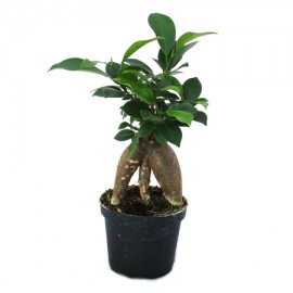 Bonsai mini Ficus Ginseng p7