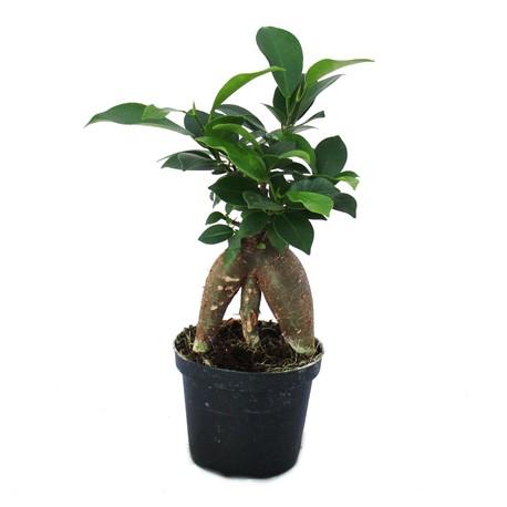 Bonsai mini Ficus Ginseng p7