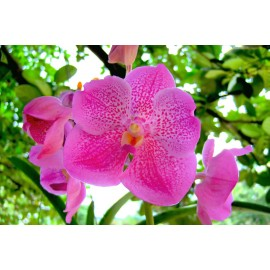 "Orhidee Vanda ""New Pink"""