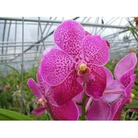 """Orhidee Vanda Robert's Delight """"Pink"""""""