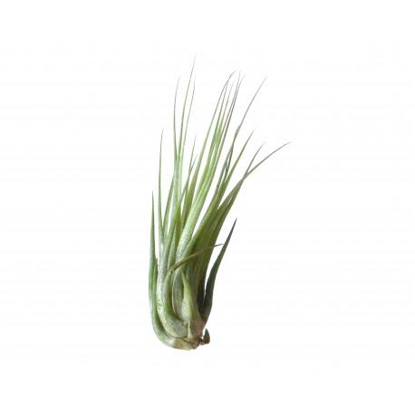 Planta aeriana Tillandsia Ionantha Scaposa