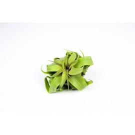 Planta aeriana Tillandsia Streptophylla