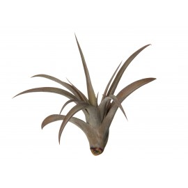 Tillandsia Capitata Peach Red