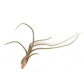 Planta Aeriana Tillandsia Baileyi