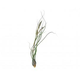Planta aeriana Tillandsia 'Butzii'