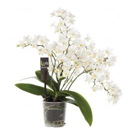 Orhidee Phalaenopsis Multiflora Wild