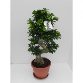 Bonsai Ginseng XXL