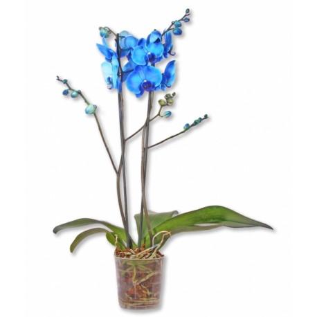 Orhidee albastra Phalaenopsis