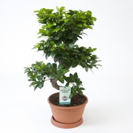 Bonsai Ginseng S type extra