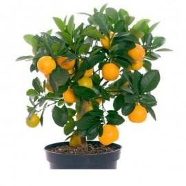 Mandarin pitic altoit