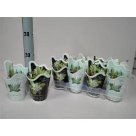 Lacramioare in ghiveci - Convallaria majalis