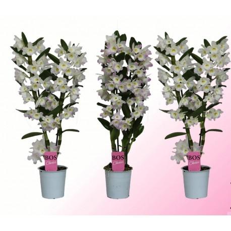 Dendrobium Nobile Kumiko