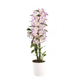 Orhidee Dendrobium Nobilé Irene Smile
